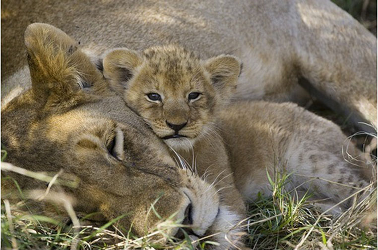 african-lion-mother-resting-with-four-week-old-cub-masai-mara-national-reserve-kenya