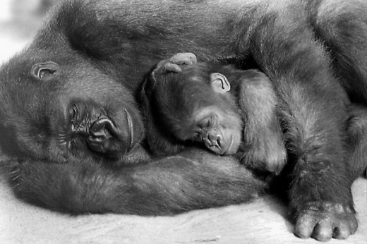 sleeping-animals-gorilla-and-baby1