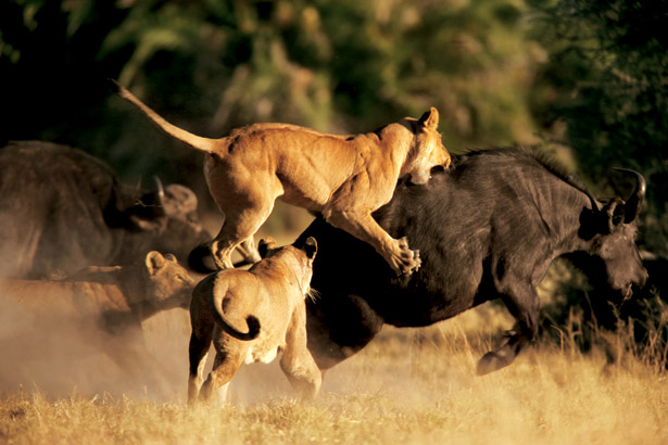 lion-attacking-buffalo-615