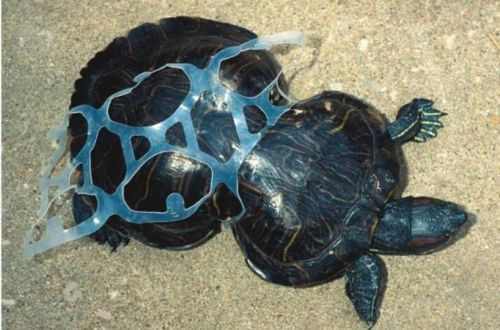 turtle_stuck_in_soda_can_six_pack_ring