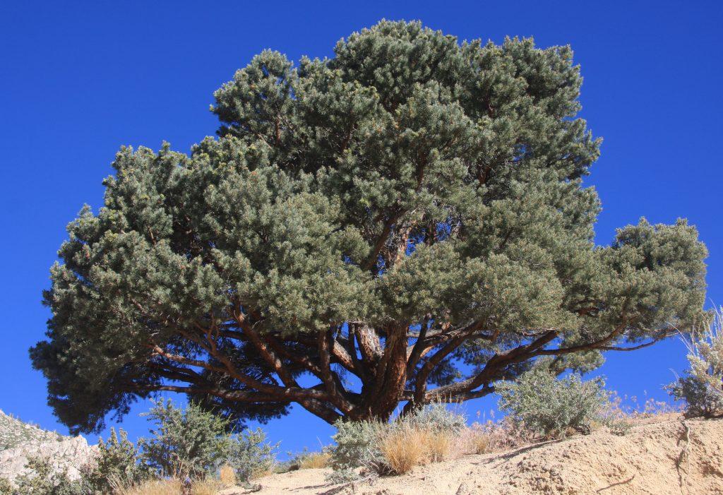 pinyon_pine_pinus_monophylla