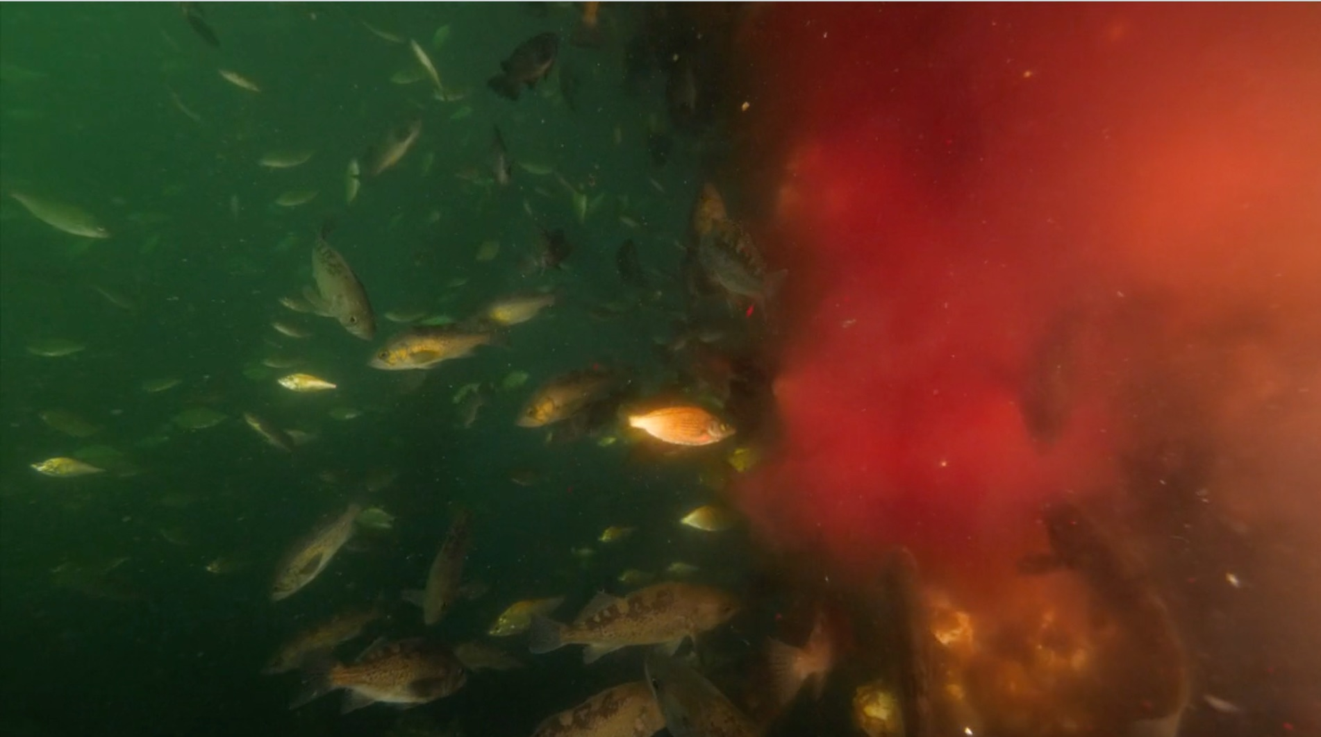 Salmon Farming Industry Caught Pumping Infectious Blood Into ...