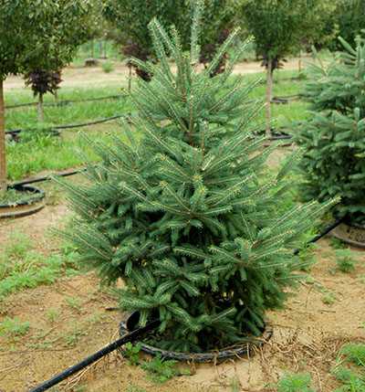 Living Plantable Christmas Trees Reforest Rather Than