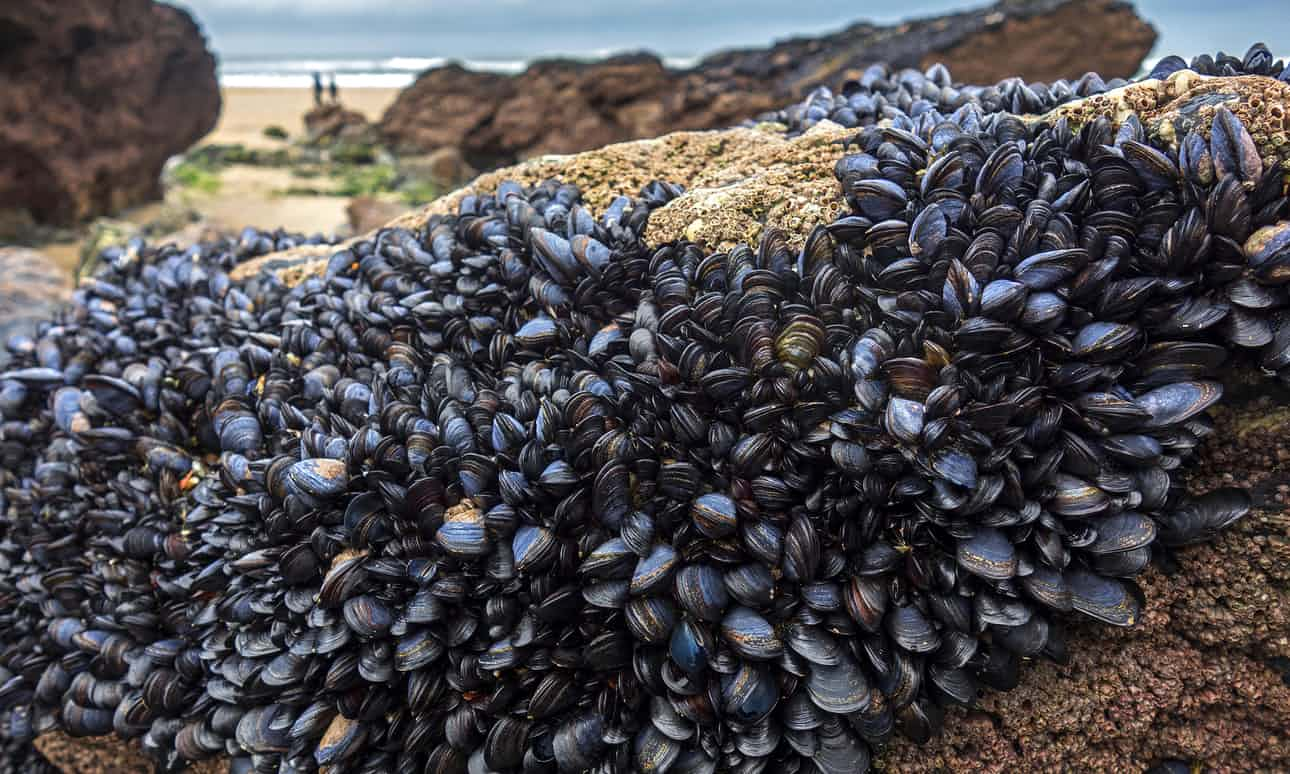 Mussels Attached To Rocks At The Ocean Stock Photo - Image ...  Mussels In Ocean