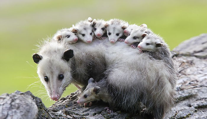 Study: Opossums are Our Best Defense Against Lyme Disease