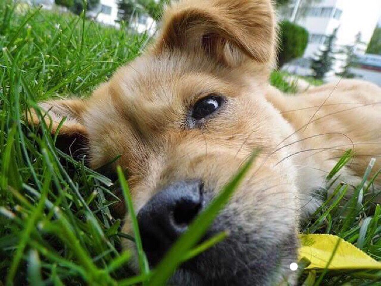 Studies Link Lawn Chemicals to Canine Cancer
