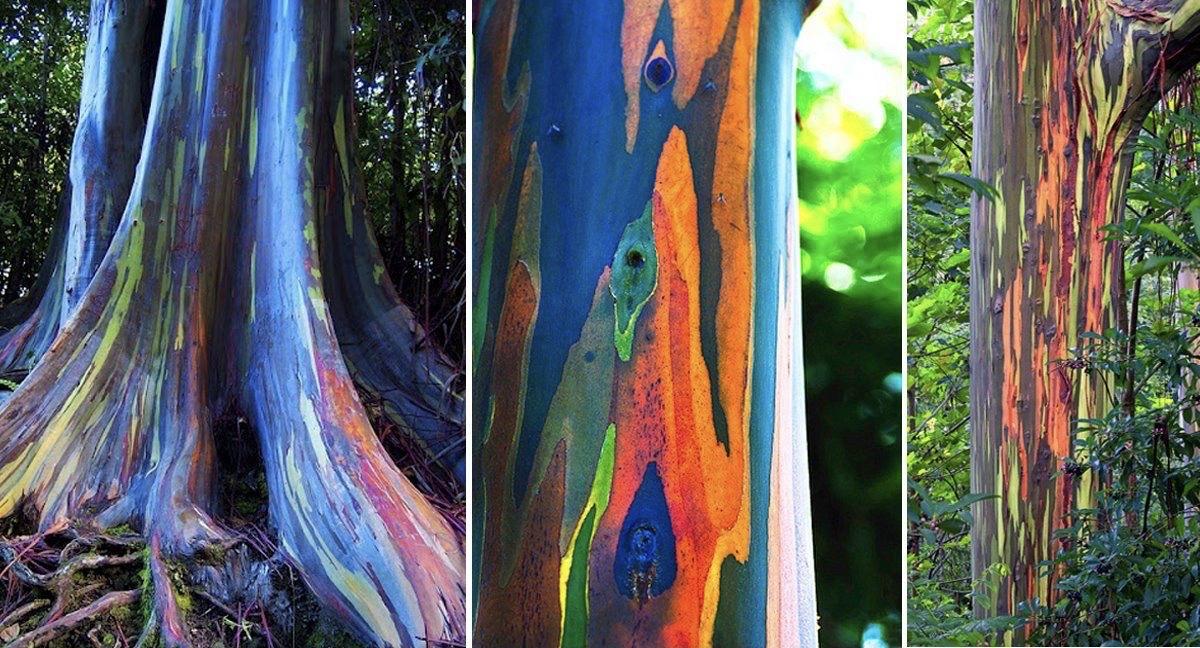 Rainbow Eucalyptus The Most Beautiful Tree In The World