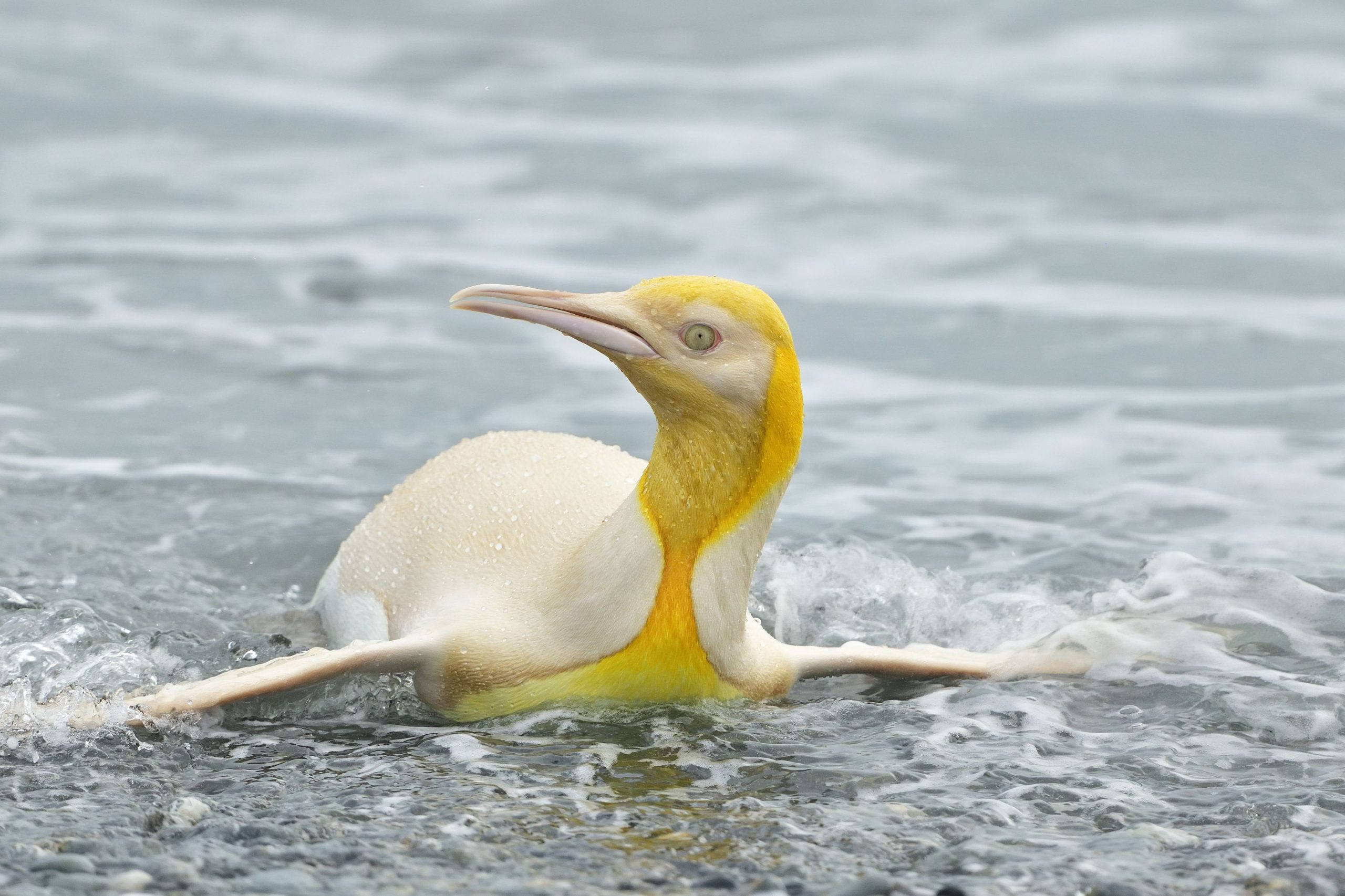 """""""Never Before Seen"""" Yellow Penguin Photographed in South Atlantic"""